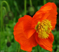 The Bokeh Poppy (☜✿☞ Bo ☜✿☞) Tags: poppy icelandpoppy bokeh flower garden macro canong9 mygearandme ngc pureclassgoldbandaward rememberthatmomentlevel1 thegalaxy flickrexplore explore flickr