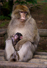 Mother and baby Barbary Macaque (Foto Martien) Tags: africa france zoo monkey algeria frankreich atlasmountains alsace marocco frankrijk gibraltar a100 pictureperfect magot elsas monkeymountain elzas barbaryape hautrhin barb