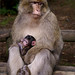 Mother and baby Barbary Macaque