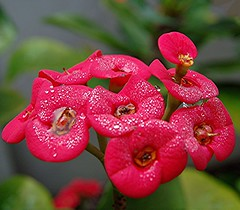A very close look at a rosy Crown of Thorns after heavy night rain and frosty morning dew (jungle mama) Tags: rain fun stamens dew waterdrops jol pictureperfect redflowers rosy crownofthorns naturelovers coth beautifulphoto fantasticflower abigfave redcrownofthorns platinumheartaward theperfectphotographer rubyphotographer 100commentgroup  oneofmypics rosycrownofthorns biscayneparkflorida wetredflowers waterdropsonredcrownofthorns