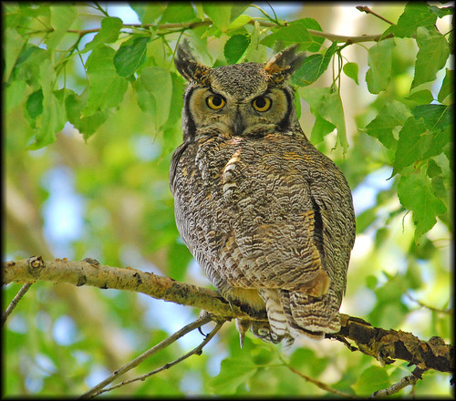 Great Horned Owl - 8424bf