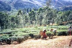 930131 Kandy Tea Plantation (rona.h) Tags: 1993 srilanka cacique kandy ronah vancouver27 bowman57