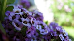 Alyssum (eelatsirk) Tags: flowers plants island purple bokeh prince edward pei alyssum maritima spreaders lobularia