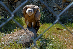 Caada Real (dar_417) Tags: madrid bird animal fauna real zoo ave vulture escorial buitre rapaz salvaje caada ibrica carroero