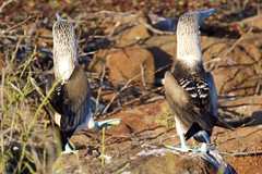Blue Footed Booby (Sula nebouxii) Dance (Right Foot In)
