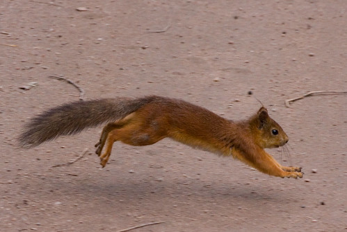Hoversquirrel 1