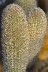 Lava Cactus (Cereus nesioticus)
