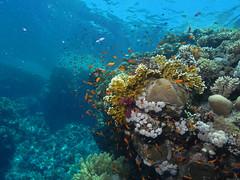 Egypt - Red Sea 2010 (scuba.hamburg) Tags: scuba diving fisch safari napoleon tauchen unterwasser weitwinkel rotesmeer egyptredsea