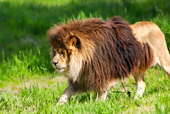 Lion king (***roham***) Tags: wild nature animal zoo nikon king lion d200 greatervancouverzoo nikond200 wildphotography 400mmf35aisii nikon400mmf35ais