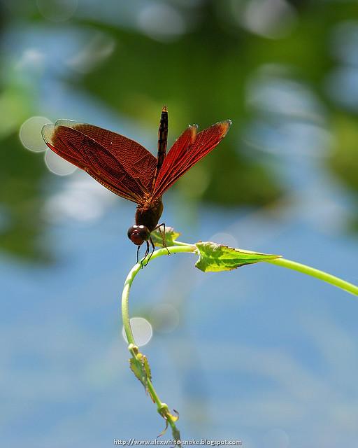善變蜻蜓 - 雄 1