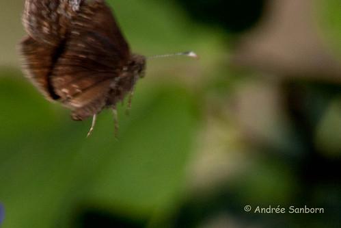 Duskywing Butterfly-3.jpg