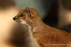 What's up over there ? (My Planet Experience) Tags: suricate suricata suricatta meerkat suricato animal animals mammal wildlife namibia africa kalahari bostwana namibie zoo animaux wwwmyplanetexperiencecom myplanetexperience canon 7d viesauvage mygearandme mygearandmepremium mygearandmebronze mygearandmesilver mygearandmegold mygearandmeplatinum peregrino27life magicmomentsinyourlifelevel1 magicmomentsinyourlifelevel2 allofnatureswildlifelevel1 allofnatureswildlifelevel2 allofnatureswildlifelevel3 allofnatureswildlifelevel4 allofnatureswildlifelevel5 allofnatureswildlifelevel6 allofnatureswildlifelevel7 allofnatureswildlifelevel8