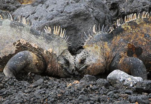 Dueling Iguanas