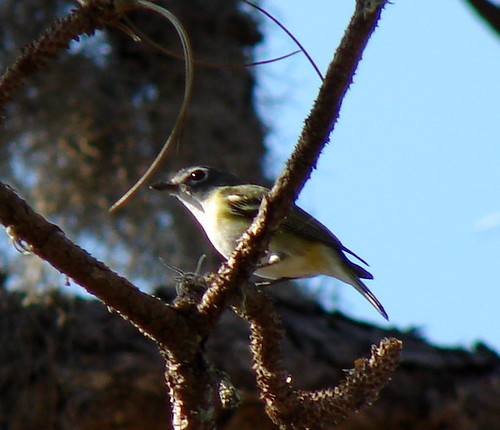 Solitary Vireo