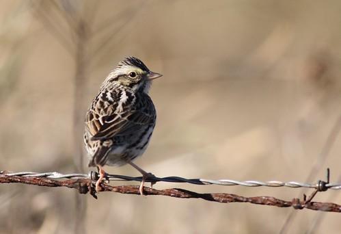 Song Sparrow - 1/20/2009