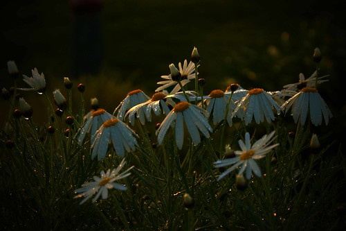 Dormant Daisies - by Michael Scotta