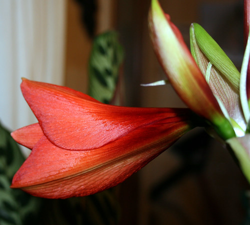 amaryllis about to bloom 2