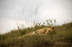 Sleeping Female Lion (Marie-Marthe Gagnon) Tags: africa tanzania nationalpark wildlife lion safari ngorongoro tribe serengeti maasai famine olduvai posterproject flickrchallengegroup flickrchallengewinner mariegagnon mariemarthegagnon