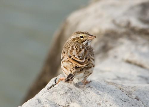 Savannah Sparrow (Ispwich race)