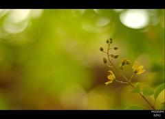 HBW (Ajith ()) Tags: flower green yellow photography leaf bokeh u bloom bud minimalism delicate coloured clicks ajith hbw ajithkumar ajithu uajith colouredclicks ajithphotography ajithuuphotography ajithuphotography colouredclickscom coloredcicks coloredclicks ajithuwordpresscom ajithkumaru
