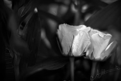 (A.A.A) Tags: roses white black love rose by canon photography you mark iii amna eos1ds abdulaziz althani 9thofmarch canoneos1dsmarkiii ya7ebenilek loveu6oolal3omer