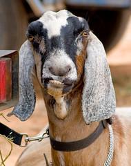 Say Cheese .......... (Kerri Afford) Tags: animal milk farm teeth goat ears goats dairy milking nubian anglonubian dairygoat