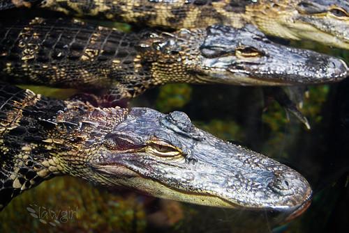 Ga_Aq_Baby_Gators[2009]