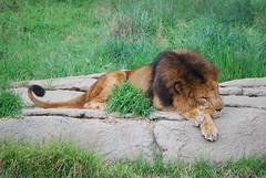 The Seventh Day, God Rests (ツMomZeeJen✿GaLLeRiA JeNeSiS✿) Tags: animals zoo lion nikond60 nopp galleriajenesis jenvista
