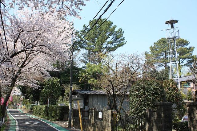 西新井町の火の見櫓(所沢市):桜