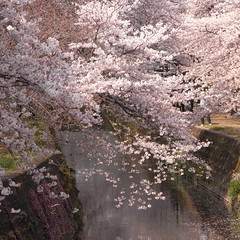 The thousands of cherry trees (Sen-bon-sakura)