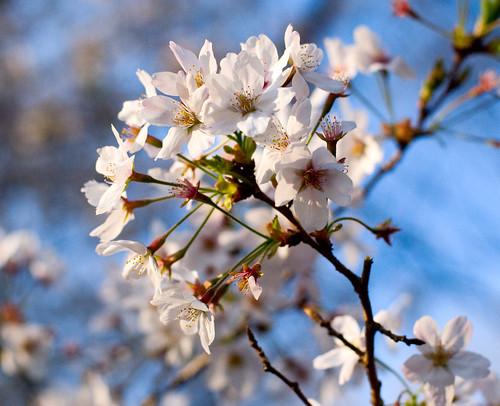 Sakura in Yoyogi 01