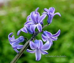 Hyacinthus/ Smbl (NURAY YUZBASI) Tags: smbl hyacinthus liliaceae wonderfulworldofflowers 100commentgroup vosplusbellesphotos thequeenoftheflowers