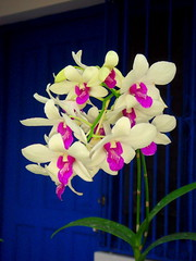 Orchid, my love... (damlosh) Tags: orchid puerto dominican republic plata caribbean sosua orkide