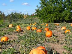 Field of giant pumpkins (marydenise6) Tags: autumn orange fall field fruit pumpkin washington farm pumpkins harvest vegetable farmer patch greenbluff easternwashington