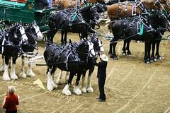 Express Clydesdales (larissa_allen) Tags: indiana clydesdales equines horsefair expressclydesdales hoosierhorsefair hoosierhorsefairexpo hoosierhorsefairexpo2009 hoosierhorsefair2009 stalliondemo expressclydesdaleshitchingteam drafthorsepulling larissaallenhorses