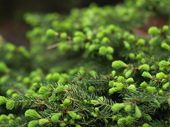 Green (C-Towner) Tags: ohio green 50mm bush bokeh cleveland olympus om needles zuiko 43 evolt e510 bokehwhores ctowner