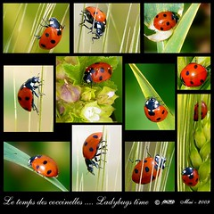 Pour votre 1er mai.... heureux comme des coccinelles ---- Your first may day.... happy as  ladybugs... (Rached MILADI - ) Tags: macro nature colors beautiful animal plante butterfly insect rouge awesome vert panasonic papillon 1001nights tableau animaux mariposa better tunisie insecte insectes tableaux flore schmetterling coccinelle faune cration graphisme graphique      supershot macrolicious  rached animal bokehlicious mywinners abigfave    platinumphoto  theunforgettablepictures fz18 dmcfz18 miladi goldstaraward  natureselegantshots mimamorflowers rachedmiladi   100commentgroup colorsinourworld colorsofthesoul