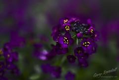 DSC_7167-2 (Gary Randall) Tags: flower macro oregon dof purple bokeh alyssum brightwood pamacro garyrandall