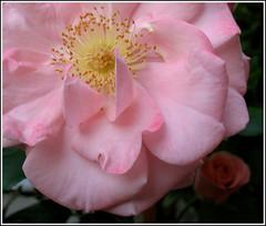 rosae rosarum rosis rosas rosae rosis (Cristina Negrini) Tags: flowers flower macro nature up close rosa fiori fiore naturalmente theworldinpink