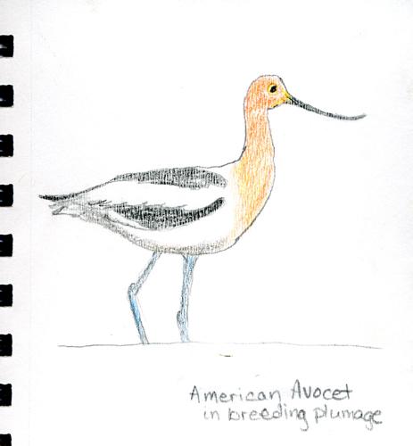 American Avocet by me