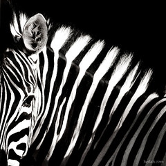 and the madness continues... (Heilah Alnasser) Tags: bw abstract eye lines animal contrast zoo stripes ear zebra zebras heilah onochrome alnasser heilahn heilahalnasser