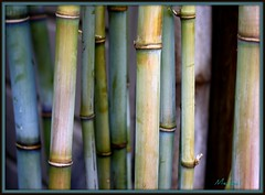 Blue Bamboo (K. Menzel Photography ( on and off)) Tags: blue tree green rose japanese moss bamboo patina