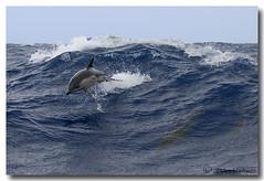 Delphinus delphis (PedroMadruga) Tags: ocean sea wild mammal dolphin wildlife pico d200 azores açores golfinho cetaceo cetacean tonina commondolphin acores openocean toninha pedromadruga southofpico golfinhocomum toninhamansa suldopico