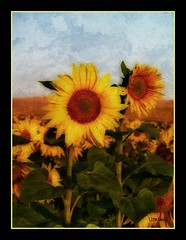 Girasoles 2009 - Sunflowers 2009 (Juanjo Cruz) Tags: flower textura sol nature yellow landscape andaluca spain flor gimp paisaje amarillo sunflower girasol kartpostal colorphotoaward rawtherapee artistictreasurechest