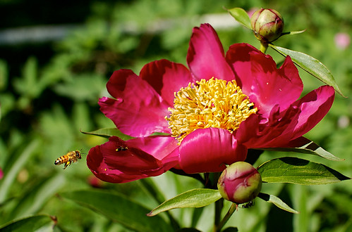 Peony and Bee 2 (edited)