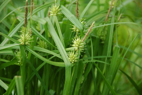 Carex grayi, Bur Sedge