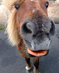 shetland pony at Loch Skipport - South Uist (fotofal) Tags: westernisles uist hebrides benbecula southuist outerhebrides berneray hebridean eriskay lochmaddy northuist lochboisdale uists outerisles