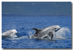 Grampus griseus (PedroMadruga) Tags: ocean sea wild mammal dolphin wildlife pico d200 azores aores golfinho cetaceo grampo cetacean openocean rissosdolphin pedromadruga southofpico moleiro suldopico vosplusbellesphotos