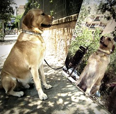At mirror on the street (dangeri.) Tags: street dog chien pet reflection topf25 leaves loving mirror labrador streetphotography sunny perro explore doc reflexions doggie perrito streetshot onexplore citypics musetto petlover thelittledoglaughed betogether heismylove doggielife miocucciolo ourdailylife myyellowlabrador hehasanadorablesnout