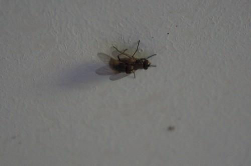moscas folleteando
